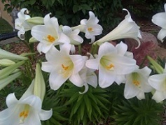 Easter lilies 3