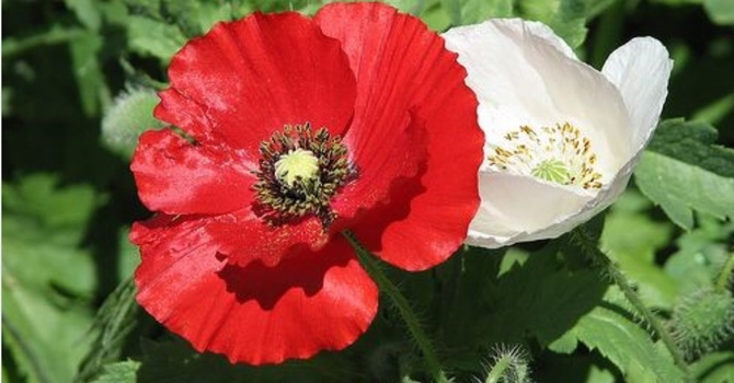 White Poppies for Peace image