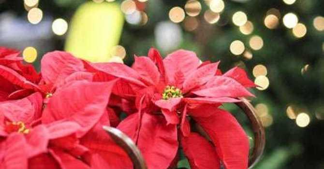 Christmas Poinsettias 2019 image