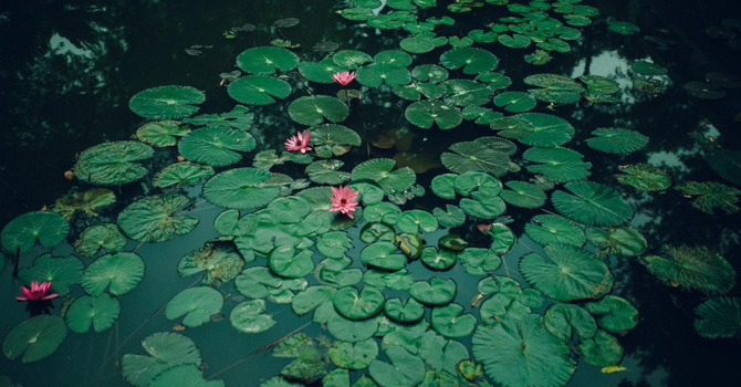 Lily Pads image