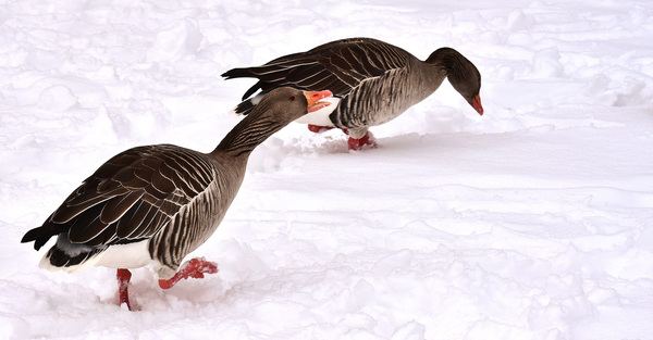 Snow Goose Chase
