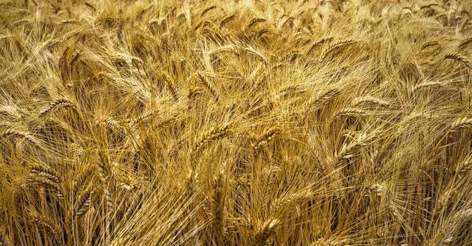 'Unless a grain of wheat' image