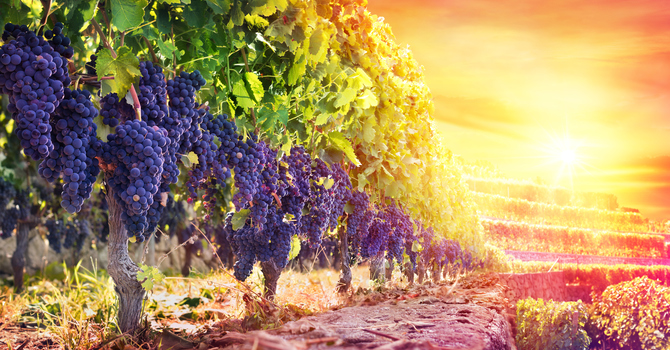 Guard Your Heart from the Forbidden Vineyard