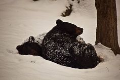512px black bears winter snow sleeping cuddled together   west virginia   forestwander