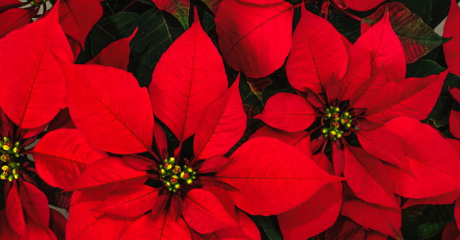 Christmas Flowers for the Sanctuary image