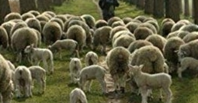 A Shepard and His Flock (God's Story)