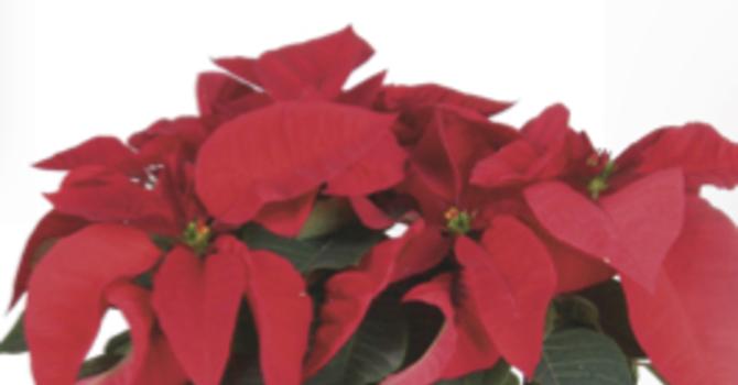 Poinsettia Fundraiser image