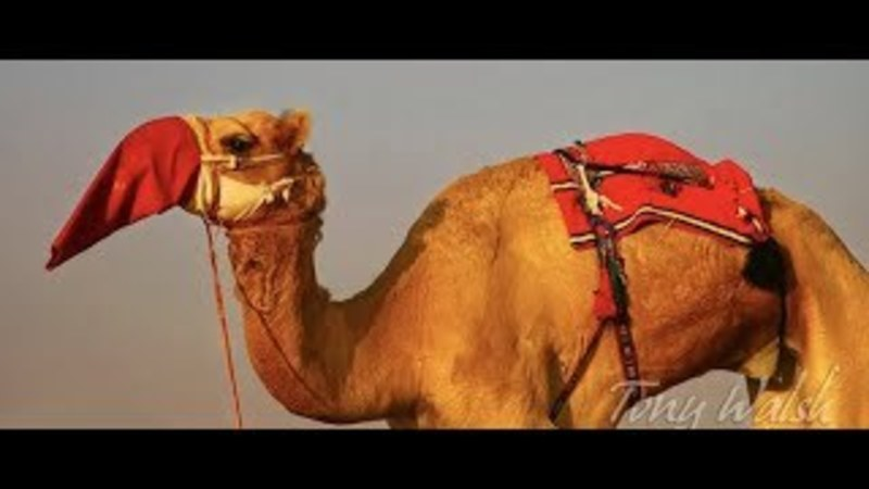 Rudolph, the Red-Nosed Camel