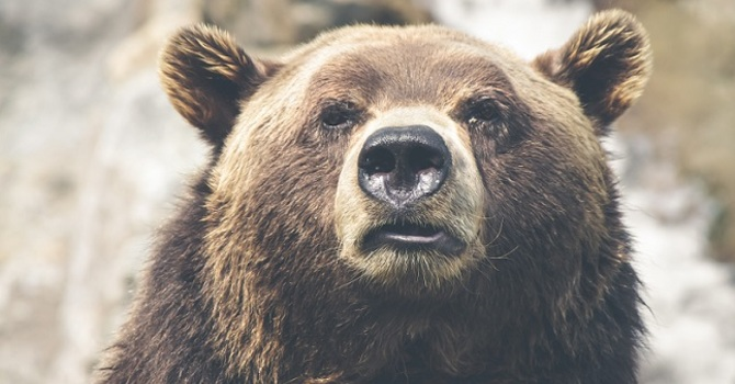 The Bear image