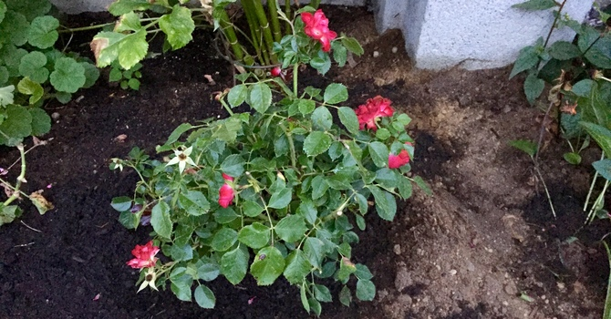Rose bushes added to the Memorial Garden image