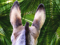 Donkey palm