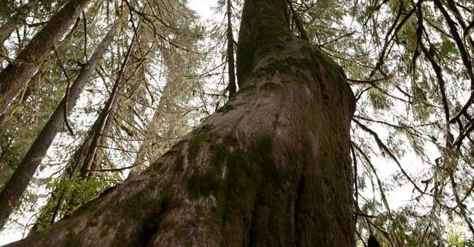 Old Growth Forest in BC