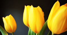 Easter%20tulips mari helin tuominen 39669 unsplash web