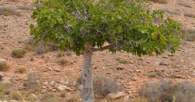 Unfruitful Fig Tree