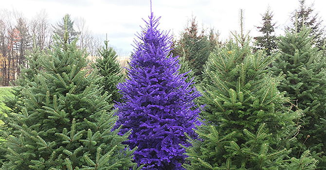Entering Advent with a purple bishop tree