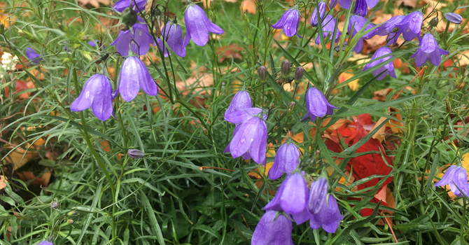 Harebell: A Plant That Gives So Much image