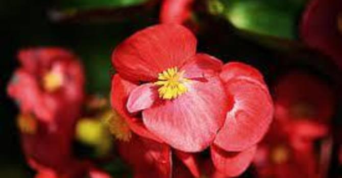 Begonias for Pentecost image