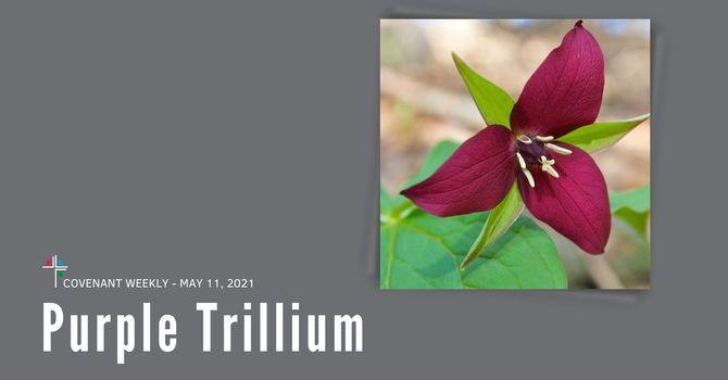Purple Trillium image