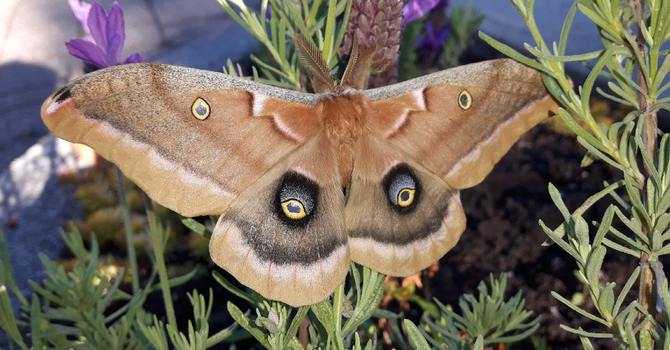 Silk Moth image