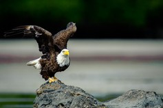 Eagle%20take%20flight