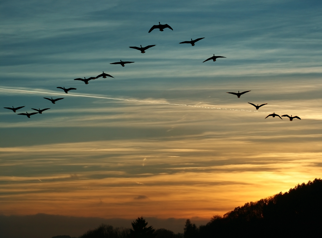 This fall, when you see Canada Geese heading south for the winter, flying along in V formation, you might consider what science has discovered as to why they fly that way: as each bird flaps its wings, it creates an uplift for the bird immediately following.