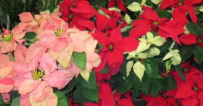 Poinsettias for Christmas image