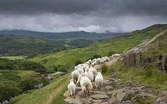 Sheep following