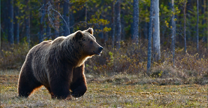 Joking About Bears image
